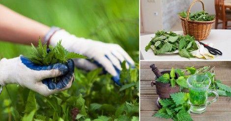 Esta planta silvestre es muy fácil de conseguir y le aporta al cuerpo propiedades muy semejantes a la de la espirulina. Lee más en La Bioguía