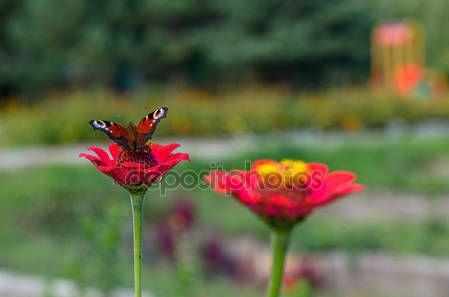 Butterfly moth emperor sitting on the flower zinnia