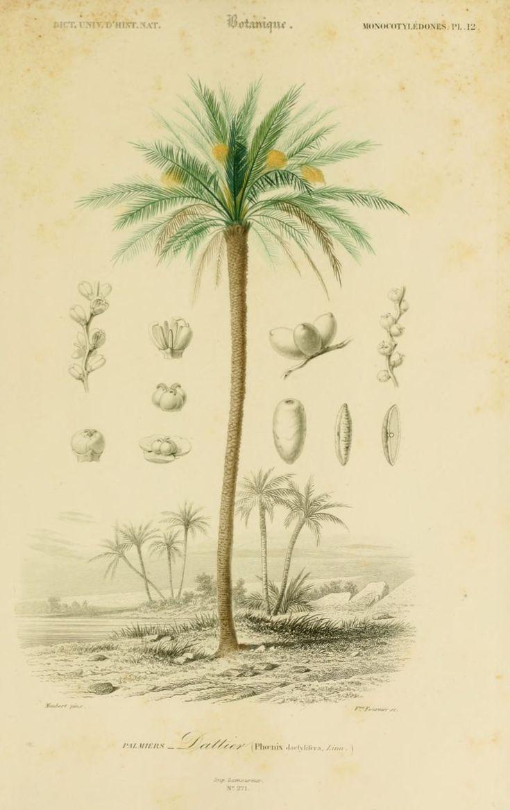 gravures couleur de fleurs - Gravure de fleur 0095 palmier - dattier - phoenix dactylifera - Gravures, illustrations, dessins, images