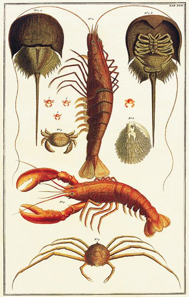 1a, b Horseshoe crab (Xiphosura); 2 penaeid shrimp (Penaeidae); 3 lobster (Homarus); 4 spider crab (Majidae); 5 crab (Brachyura); 6 eggs of a crab; 1-4 porcelain crabs (Porcellanidae)