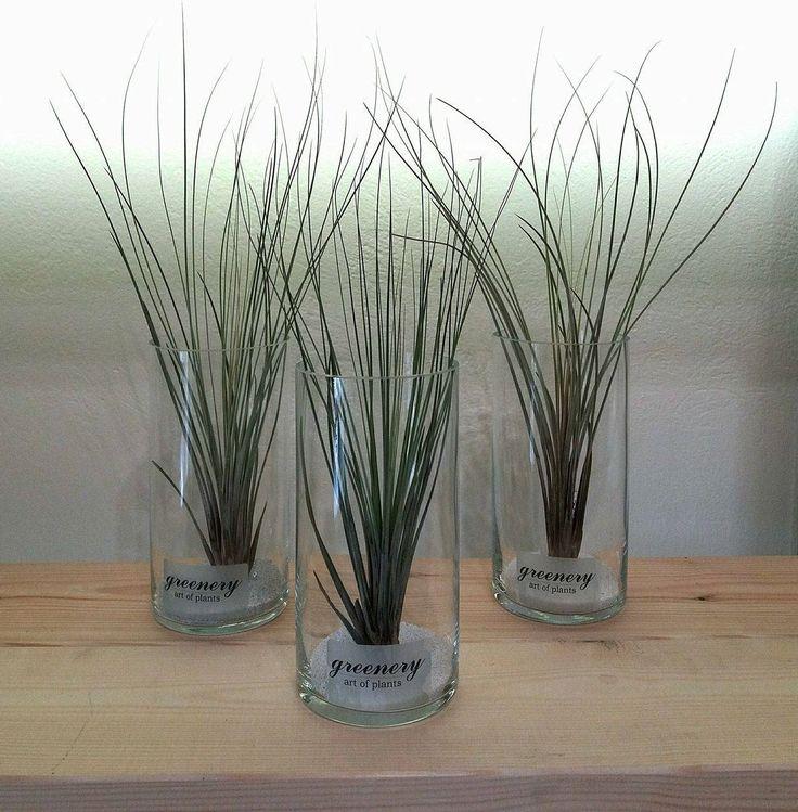 Air plants in vases