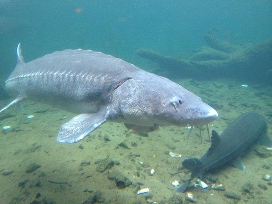 1000 ideas about bonneville dam on pinterest coal stove for Bonneville fish hatchery