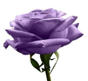 Purple Roses - only $.69/package (5 seeds) SHIPPED!