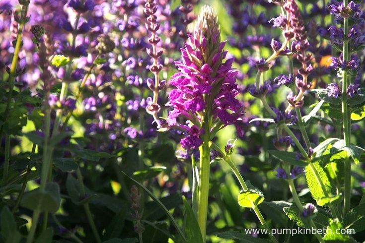 Dactylorhiza 'Sir Simon Milton' (Aristocrat x D. purpurella) is a new hybrid orchid that has been named in honour of the late Sir Simon Milton. This…