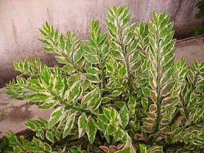 Devil's backbone (Pedilanthus tithymaloides 'Variegatus') Photo: James Missier, Garden Chronicles: Zig Zag Plant: Photo