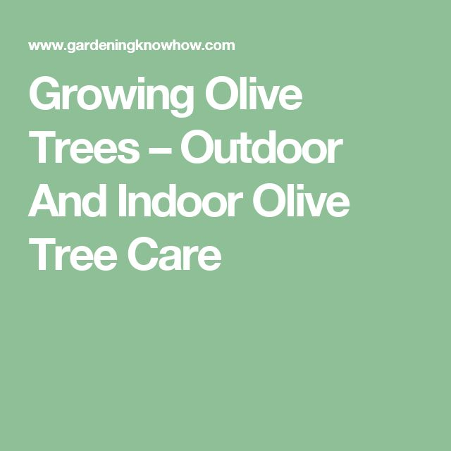 Growing Olive Trees – Outdoor And Indoor Olive Tree Care