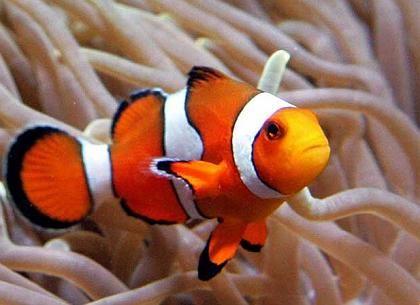 how to sex percula clown fish