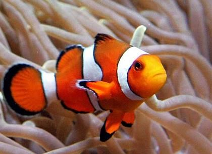 20 best images about clownfish on pinterest kunst wall for Buy clown fish
