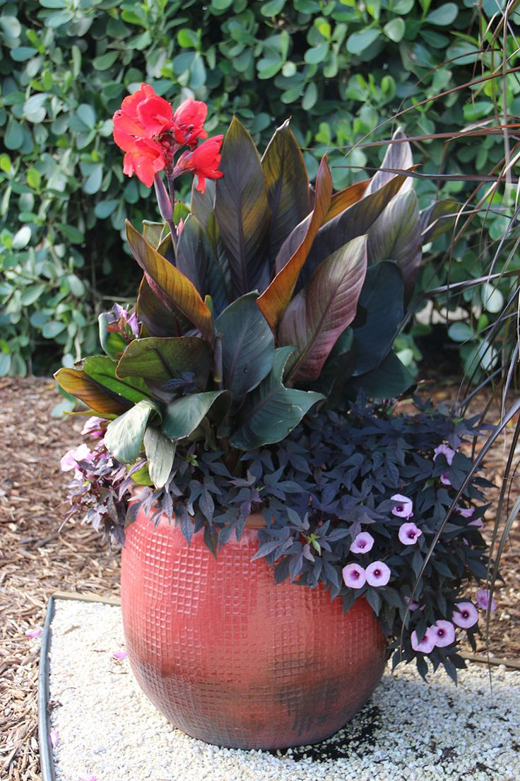 Easy combo for a container, 2 red canna and 2 purple sweet potato vine \\ From Costa Farms