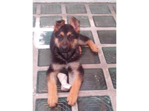 cachorro pastor aleman en adopcion