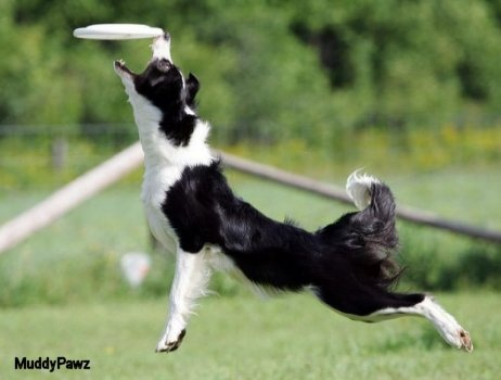 82067dc8ad48fc9cf9982c37b4a3440f dog park passion 85 best dog disc images on pinterest doggies, dogs and border collie