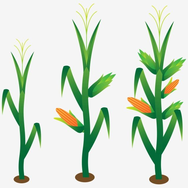 Hand Painted Corn Corn Stalk Plant Crop Growing Grow Up Png And Vector With Transparent Background For Free Download Corn Plant Corn Stalks Watercolor Flower Background