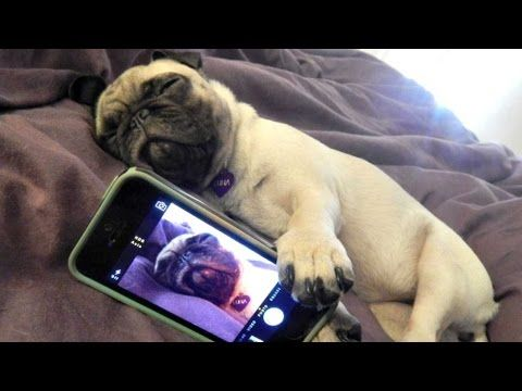 funny puppy pug identity crisis (puppies vs babies animal planet contestant) - YouTube