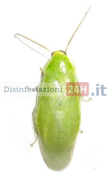 #disinfestazione #scarafaggi #blatte #blatta #blatella #scarafaggio #verde
