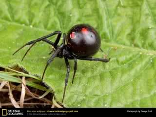 Em 5º lugar a inevitavel e discreta aranha viuva negra, cujo seu veneno mata facilmente um animal de 150 kg, matando um humano em aproximadamente 10 minutos.