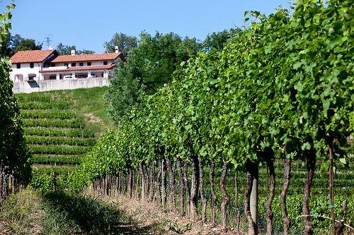 Villa Parens vineyards in Ruttars, Collio area.