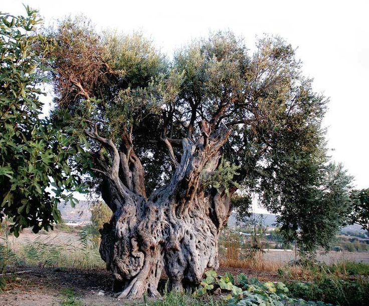 Piante secolari di olivo, diffuso, fin da epoche molto antiche, nelle stesse zone in cui è attestata la presenza del carrubo.  www.perugiaflowershow.com