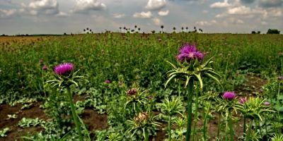 Máriatövis termés