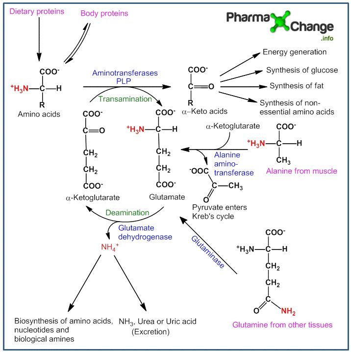 biochemistry of pathways of amino acids to glucose during starvation - Google Search