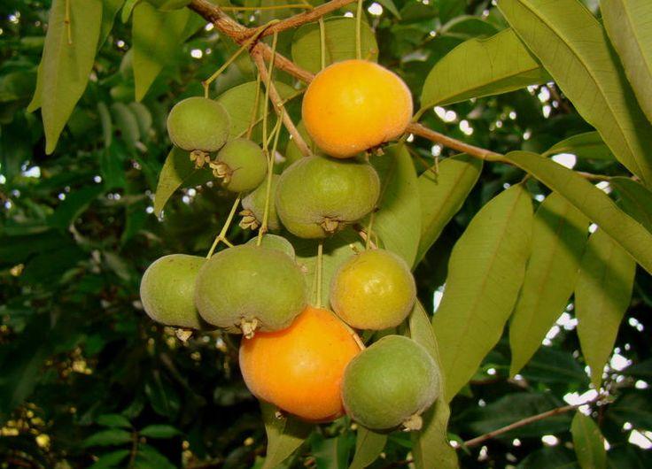 Uvaia (Eugenia uvalha)   10 frutas nativas brasileiras que você precisa provar antes de morrer