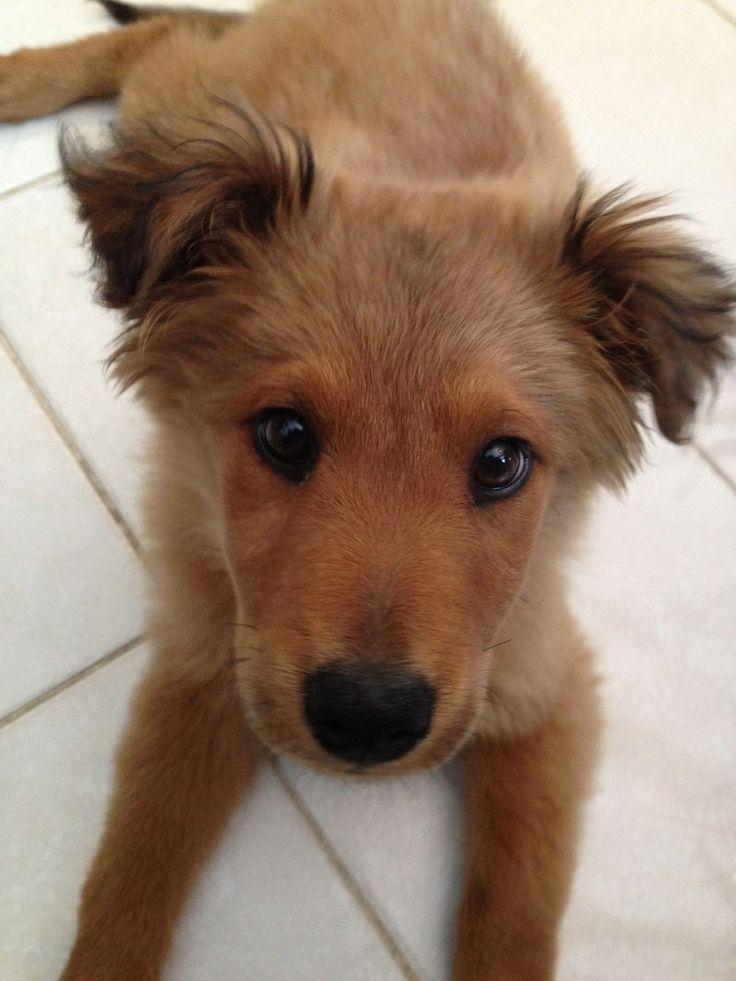 Adopt Sierra on   Puppies, Pet plan, Animals  Finnish Spitz Lab Mix