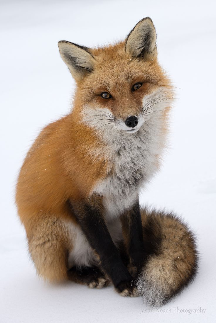 Red Fox by Jason Noack on 500px
