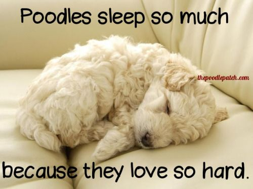 POODLES SLEEP SO MUCH BECAUSE THEY LOVE SO HARD