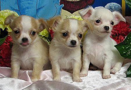 ¡Perritos Chihuahuas publicados en Vivavisos! http://venta-mascotas.vivavisos.com.ar/comprar-mascota+prov-de-bs-as/criadero-de-chihuahuas-ambas-variedades/49300353
