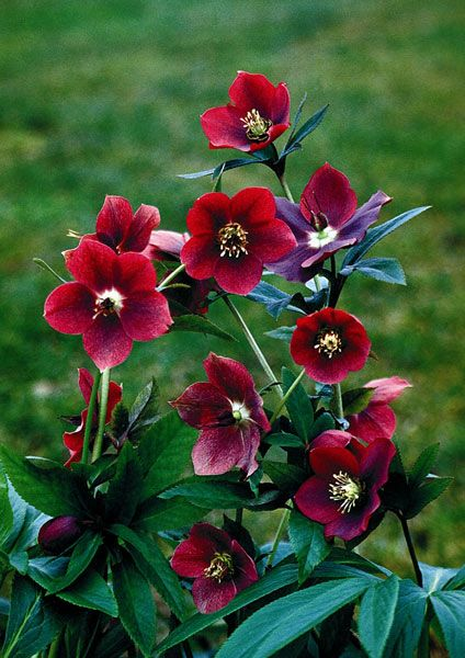 Buy Lenten Rose Hellebore Helleborus 215 Hybridus Red