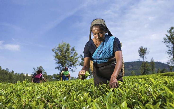 Theepluksters in Nuwara Eliya, één van de hoogtepunten in veel rondreizen door Sri Lanka van Original Asia! Rondreis - Vakantie - Sri Lanka - Nuwara Eliya - Ella - Theevelden - Theepluksters