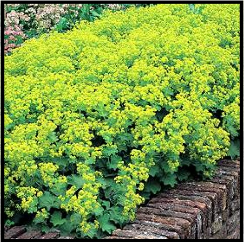 Lady's Mantle // love this/ATTRACTS: Butterflies. Plant with Delphinium which attracts Ruby Throated Hummingbirds. Use as a groundcover.