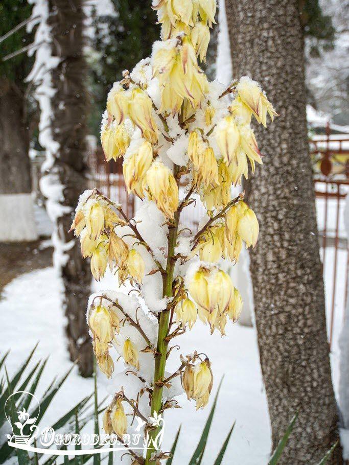 Юкка садовая  - узнайте все секреты выращивания! Как посадить, обрезать; удобрение,  пересадка юкки, размножение, укрытие на зиму, полив
