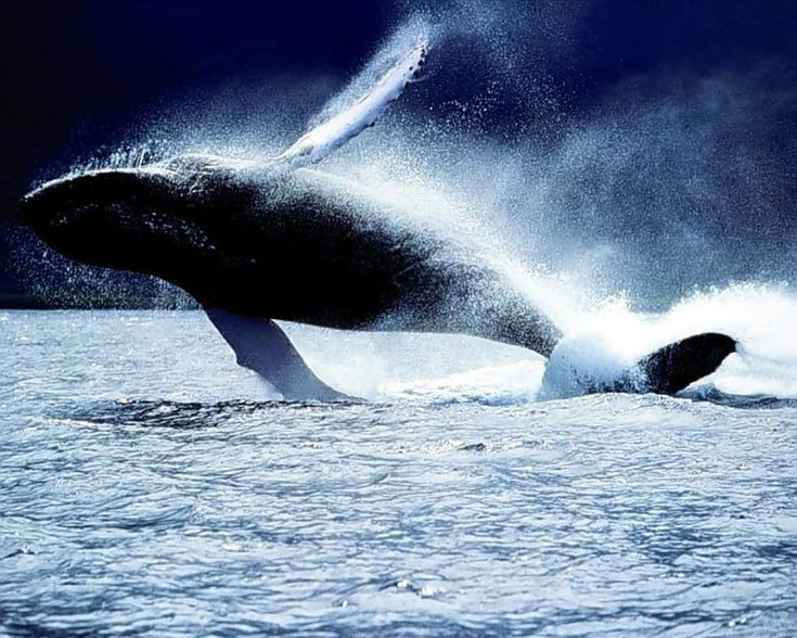 Best Whale Pictures Ideas On Pinterest Can Not Jonah Bible - Rare moment 40 ton whale jumps completely out of the water