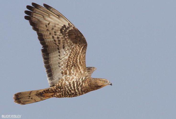 Western Honey-buzzard (Pernis apivorus) in flight