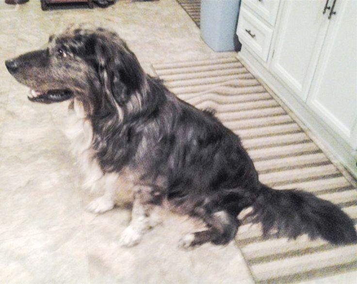 Lost Dog - Australian Shepherd - Twinsburg, OH, United States 44087