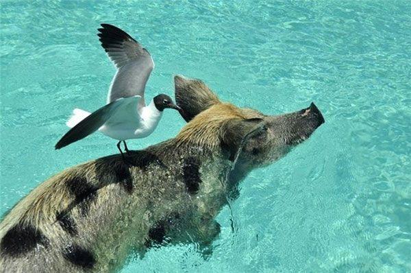 И у хрюшек бывает райская жизнь - плавающие свиньи Багамских островов