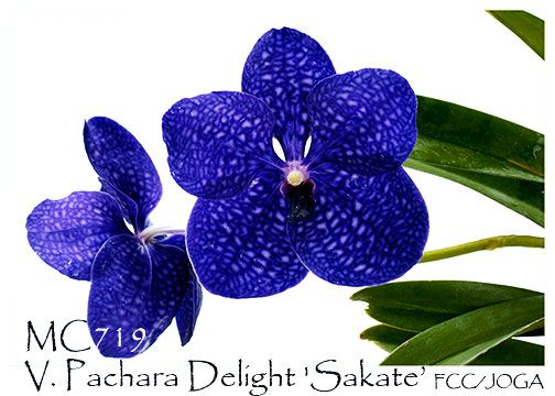 V. Pachara Delight 'Sakate' FCC/JOGA (V.Karaulea x V. Gordon Dillon): Beautiful Deep, Blue Orchids, Amazing Orchids, Orchid Flowers, Beautiful Flowers, Fcc Joga Vanda, Fcc Joga V Karaulea, Beautiful Gardens, Botanical Gardens