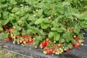 Fraisier Champs de fraises 'Florika'