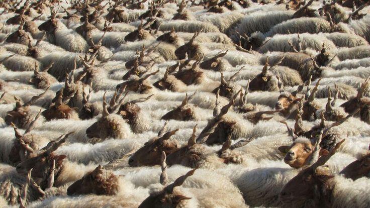 Rackajuhok, behajtás, Hortobágy Hungarian Racka sheeps, Hortobágy
