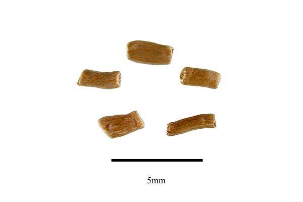 http://www.ars-grin.gov/npgs/images/sbml/Xerochrysum_bracteatum_seeds.jpg