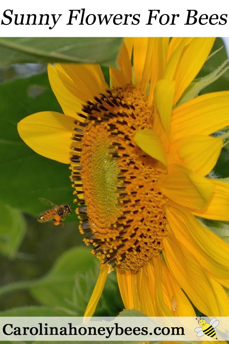 Plant sunny flowers for bees and other pollinators. But you must choose well or you can cause harm. via @https://www.pinterest.com/carolinahoneyb