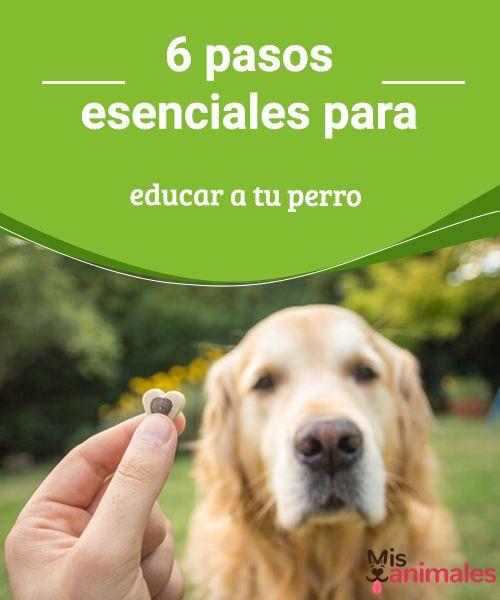 6 pasos esenciales para educar a tu perro  La educación canina es importante, a continuación te contaremos los 6 pasos esenciales para educar a tu perro. #educar #pasos #canino #consejos