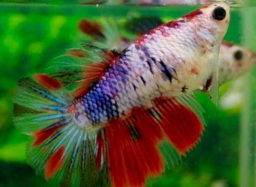 Pin by marianne sans on beautiful betta fish pinterest for Betta fish diet