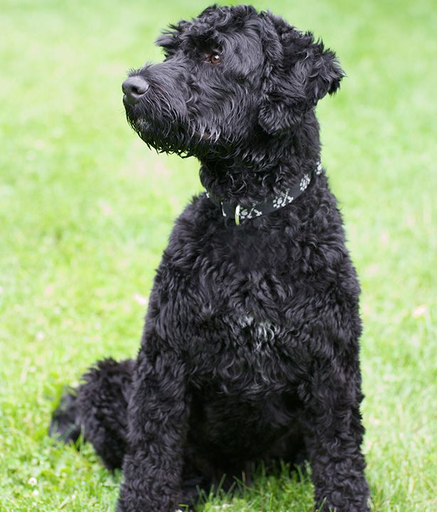 Portuguese Water Dog | WOOFipedia, provided by the American Kennel Club