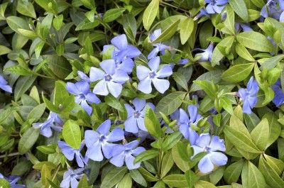 Getting rid of Periwinkle ground cover. | Evergreen vinca spring carpet with blue flowers.