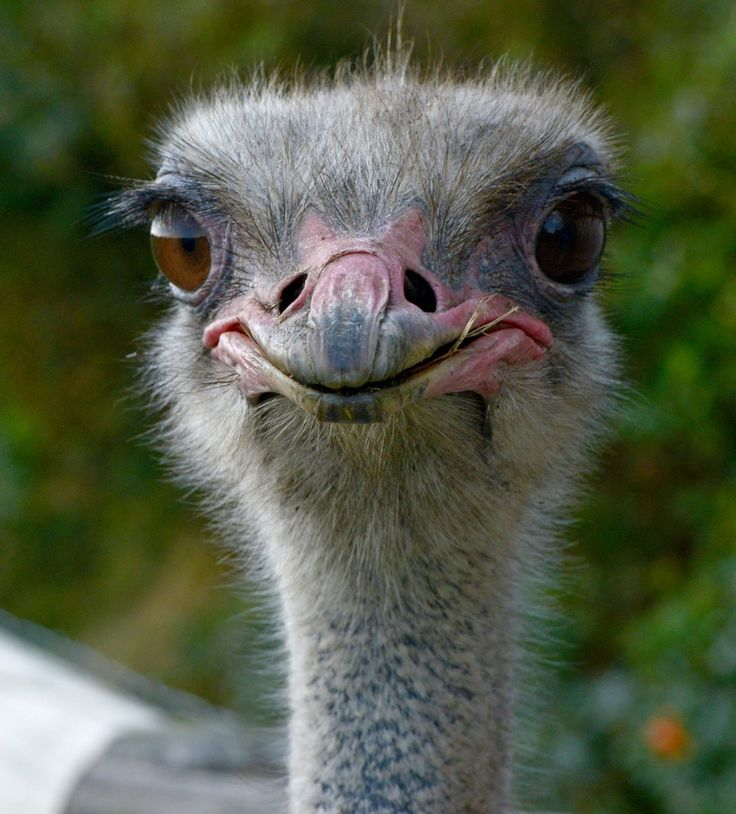 Difference Between an Emu and an Ostrich