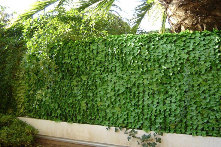 Haie de feuilles de lierre