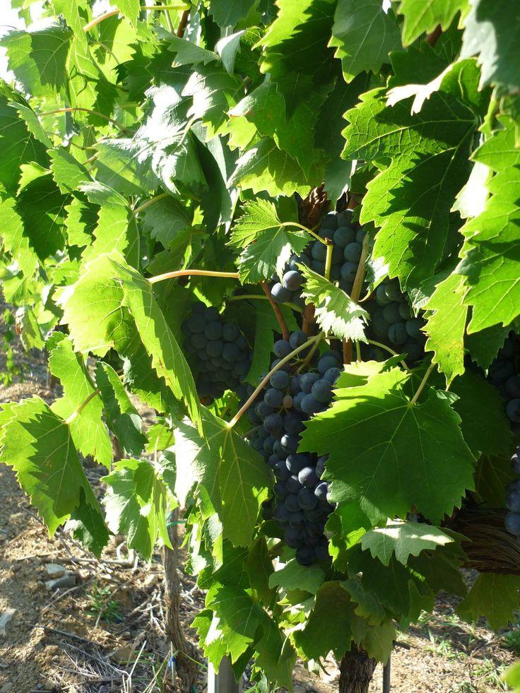 It's time to #harvest! In Pitigliano #Tuscany... we're harvesting Alicante Bouschet!  #PoggioalTufo #Tommasiwine www.poggioaltufo.it