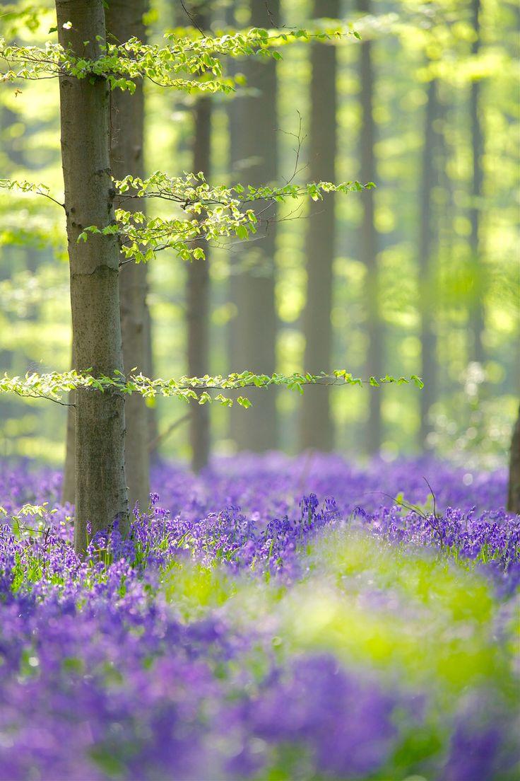 Bluebells in Halle's Wood (Hallerbos), Belgium - ©Corné van Oosterhout (via 500px)