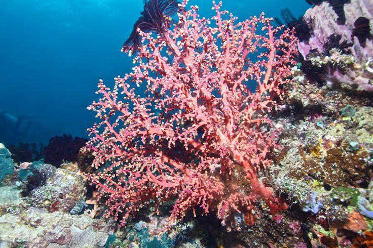 Koralrev ved Menjangan Island ud for Balis Vestkyst i Indonesien.